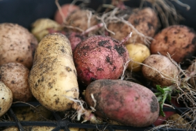 Potato harvest was abundant in 2012
